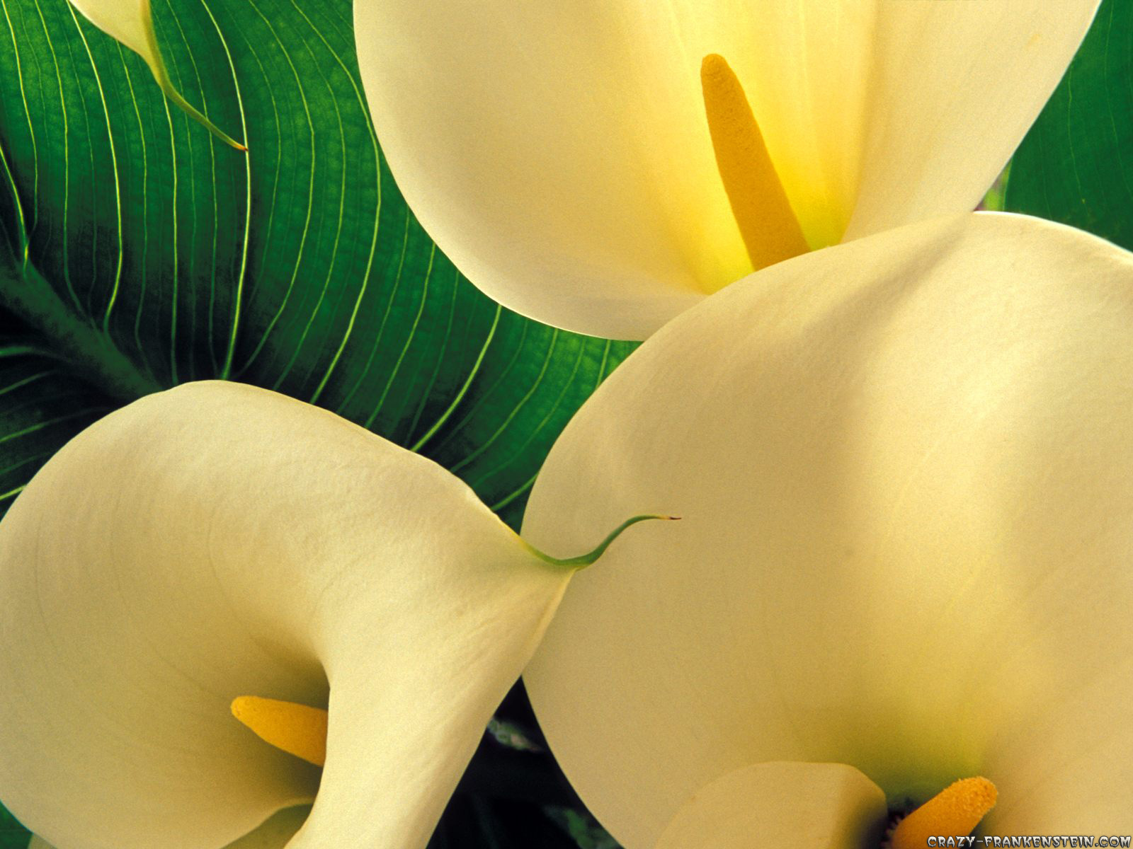 Calla Lily HD Wallpapers Free Download  New HD Wallpapers Download 1600x1200