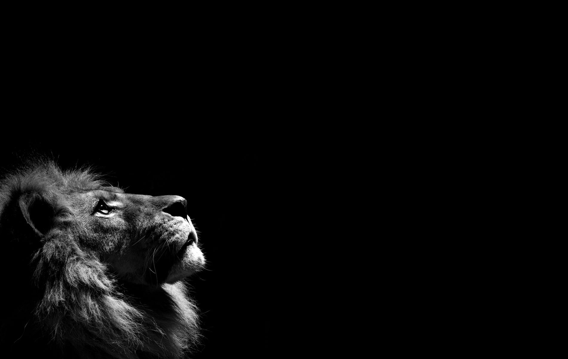 lion hd wallpapers lion hd pictures free download hd 1900x1200