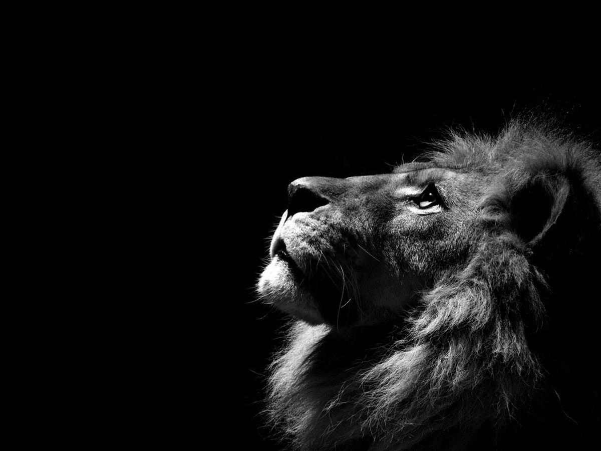 Lion Hd Wallpapers Lion Hd Pictures Free Download Hd 1200x900