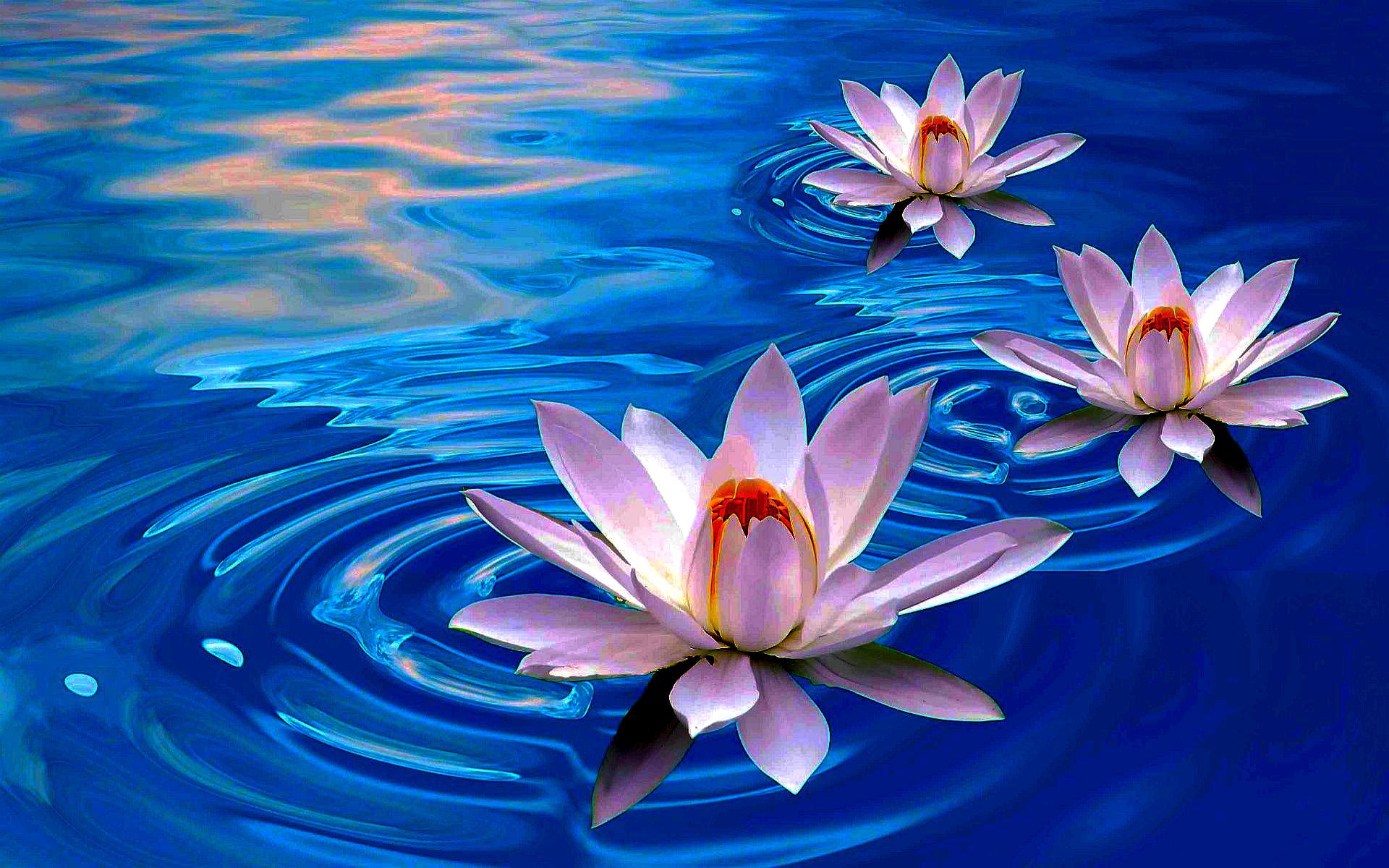 Best ideas about lotus flower wallpaper on pinterest lotus 1920x1200 izmirmasajfo Choice Image