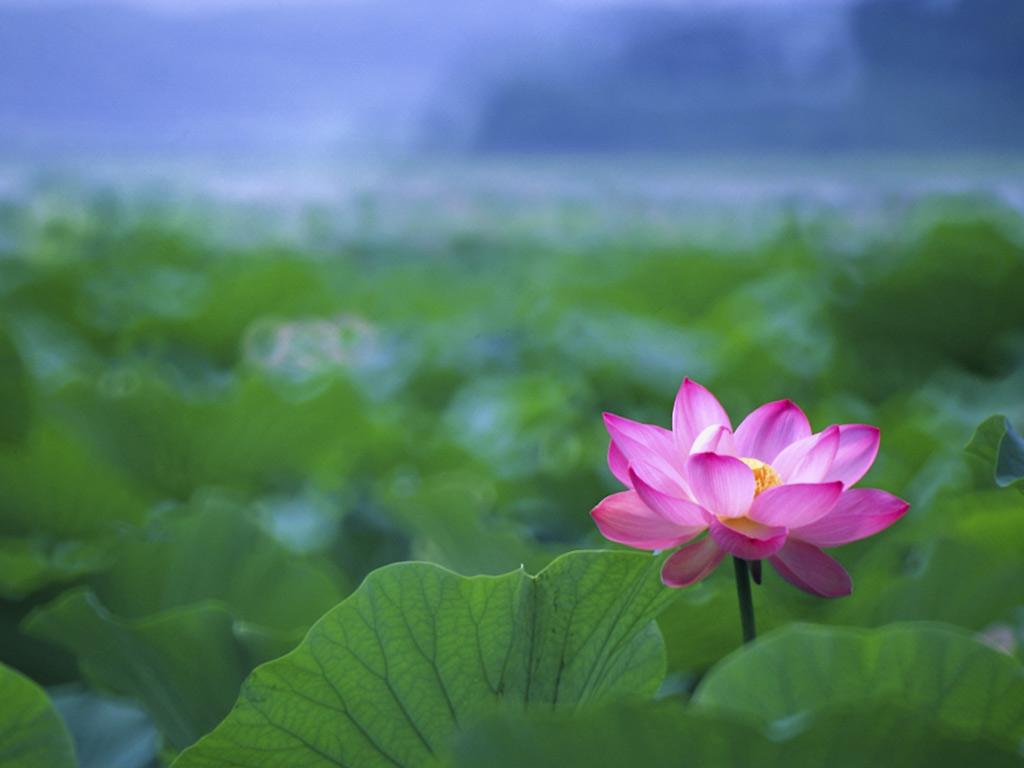 Ideas About Lotus Flower Wallpaper On Pinterest 1024x768