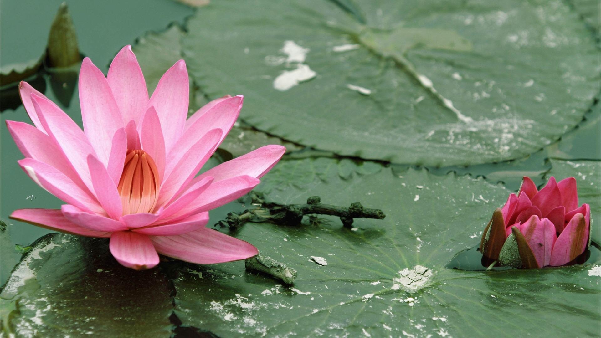 Ideas About Lotus Flower Wallpaper On Pinterest 1920x1080