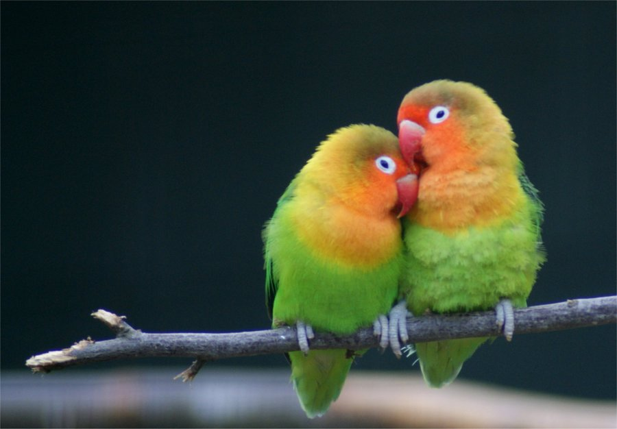 Love Birds Wallpapers Hd Free Download For Desktop Magazine Fuse 900x626