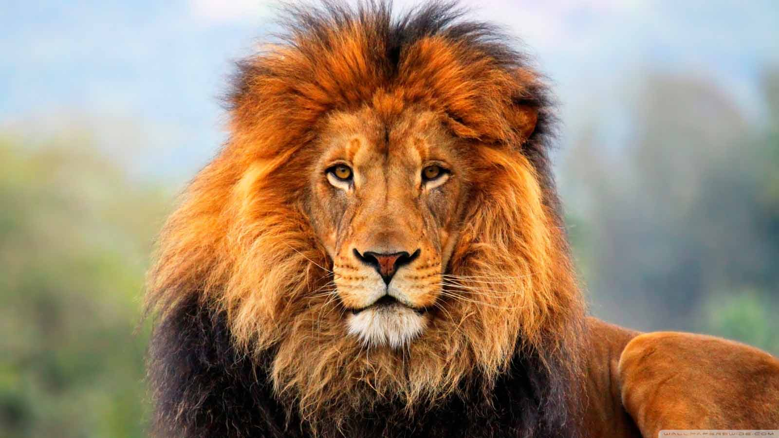 Download Best Lion Wallpapers Hd For Pc Windows And Mac Apk Osx