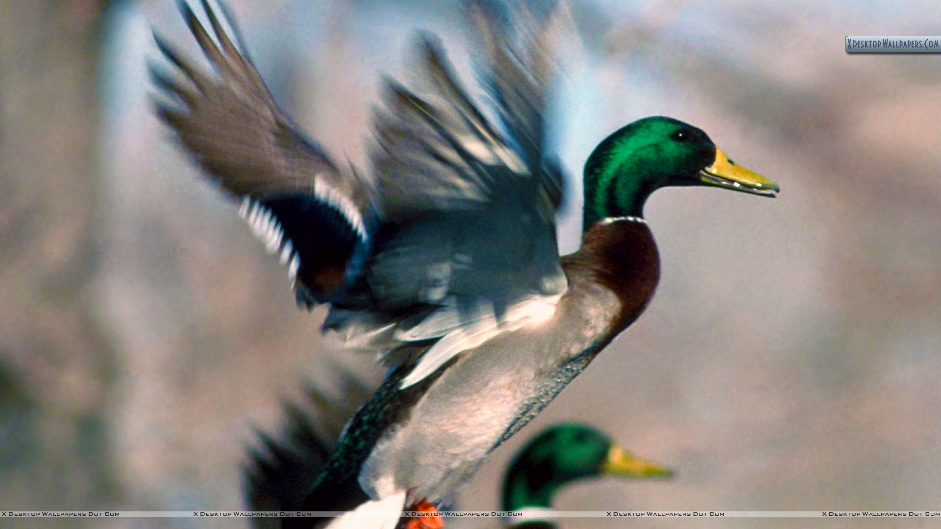 Ducks Unlimited Wallpapers   1920x1080