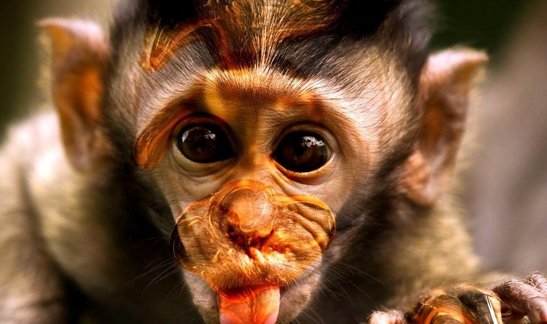 monkey baby gorilla HD wallpapers