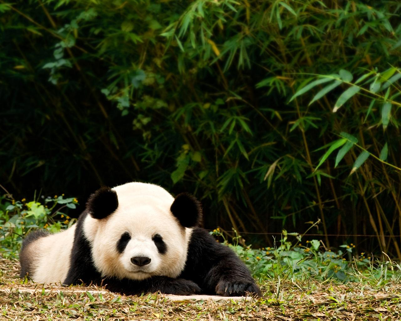 Baby Panda Iphone Wallpapers 9400  Amazing Wallpaperz