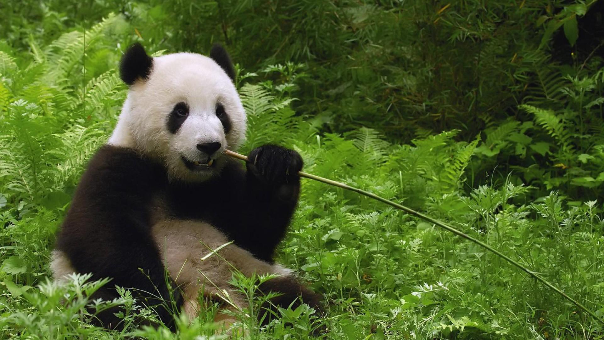 панда на рабочий стол телефона вас мае