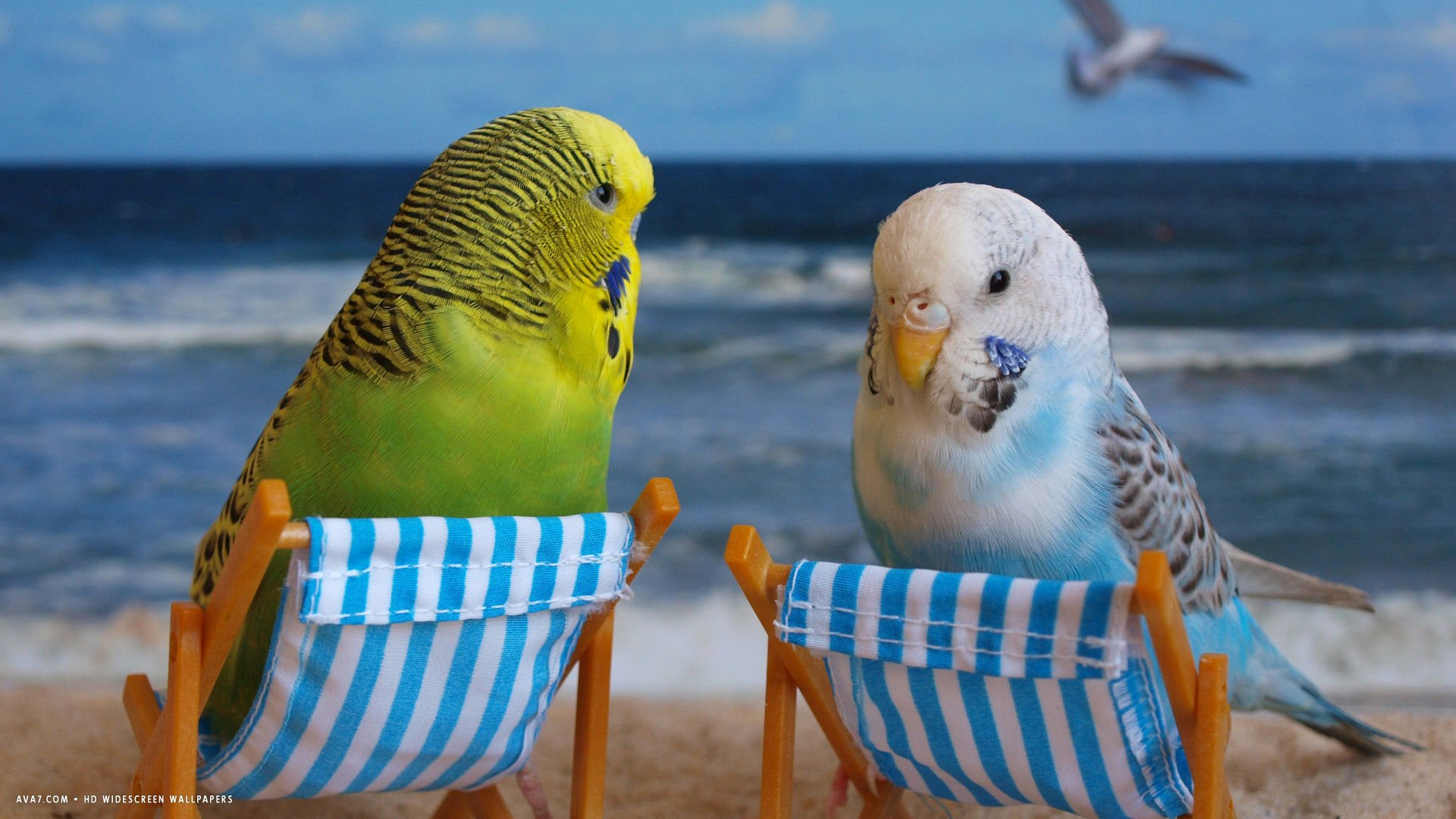 Parakeet Wallpaper  Free wallpaper download 1920x1080