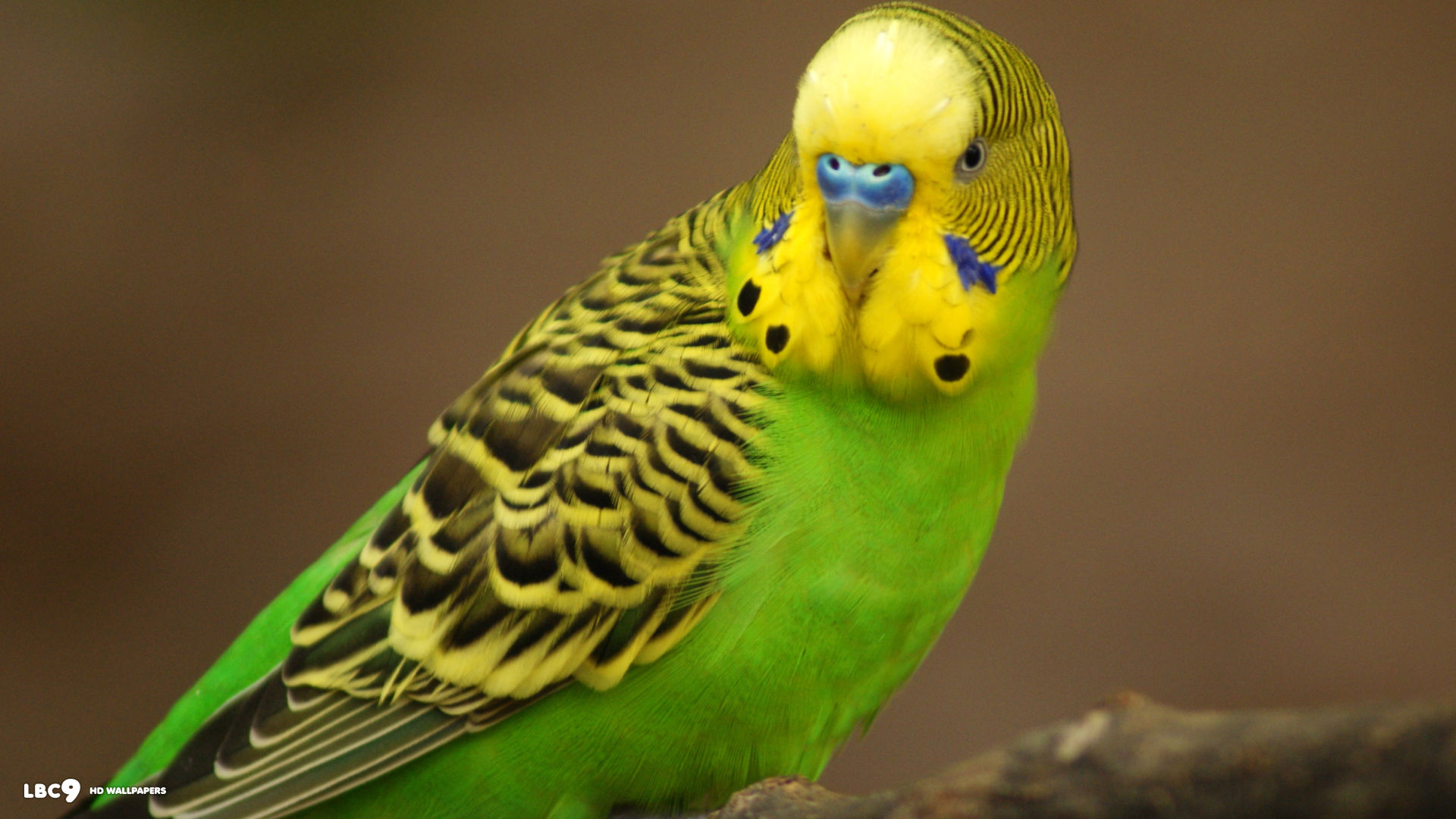 Cute Parakeets Wallpapers  Android Apps on Google Play 1920x1080