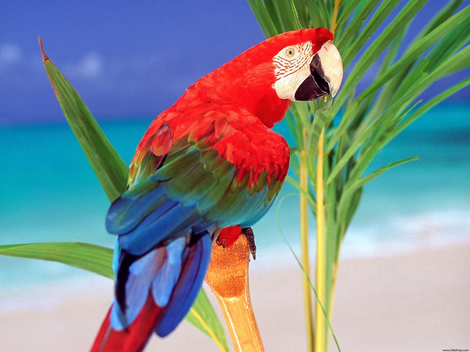 Download Wallpaper Love Parrot - Parrots-Pictures-Wallpapers-064  Picture_999927.jpg