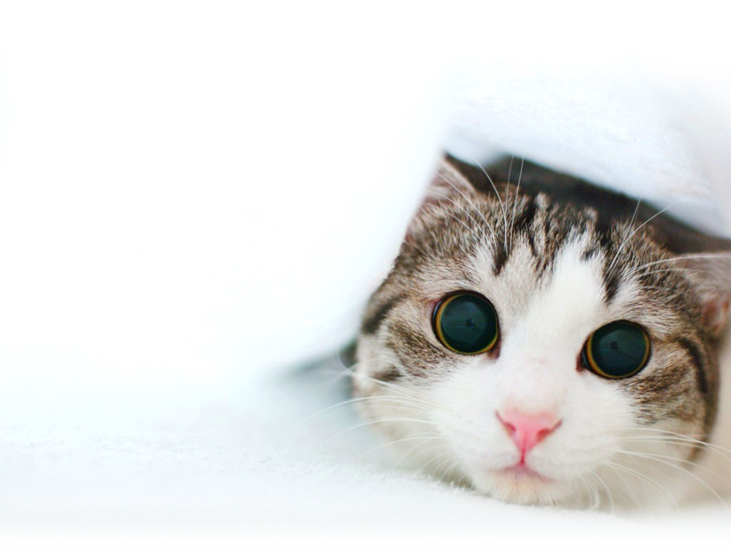 double cat wallpaper pixelstalk cute cat wallpapers kitten