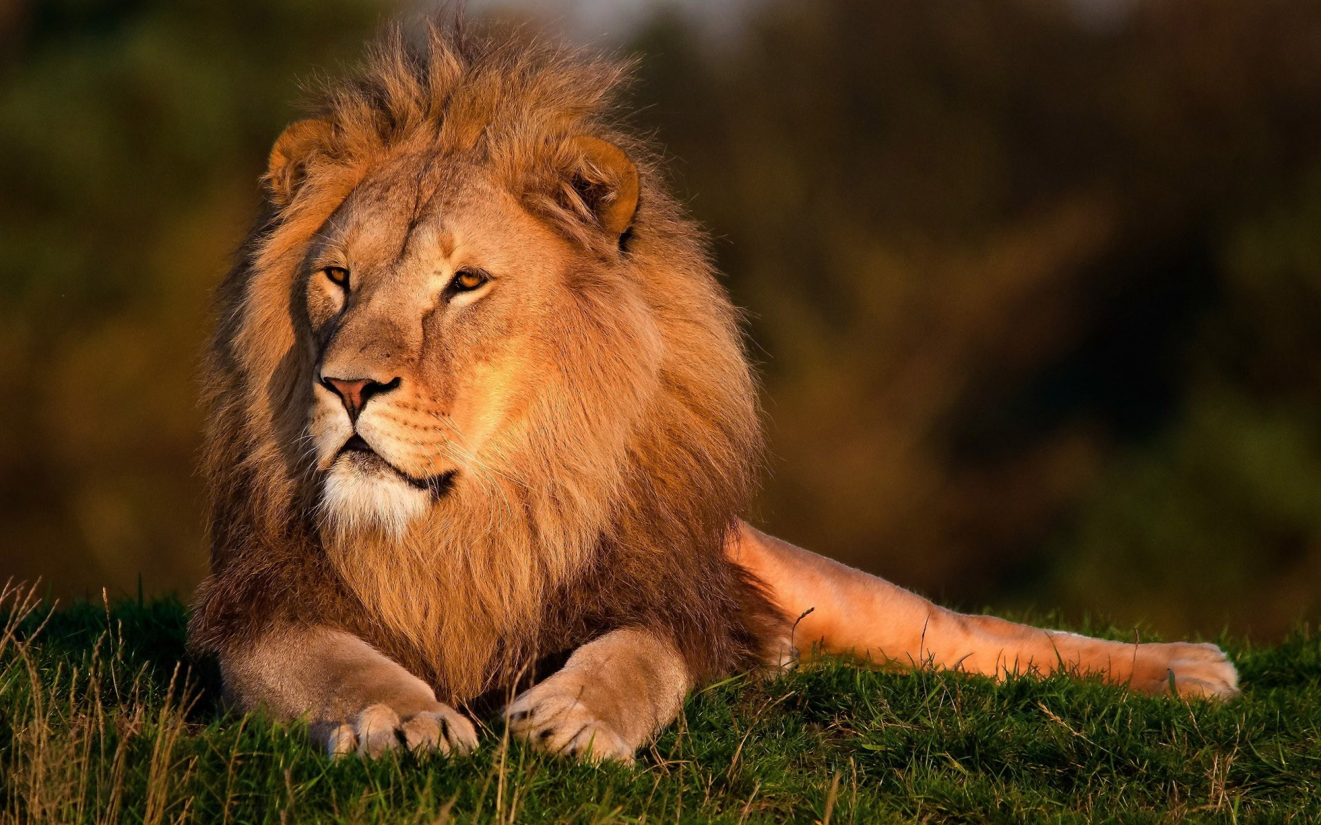 Lion Hd Wallpapers Lion Hd Pictures Free Download Hd 1920x1200