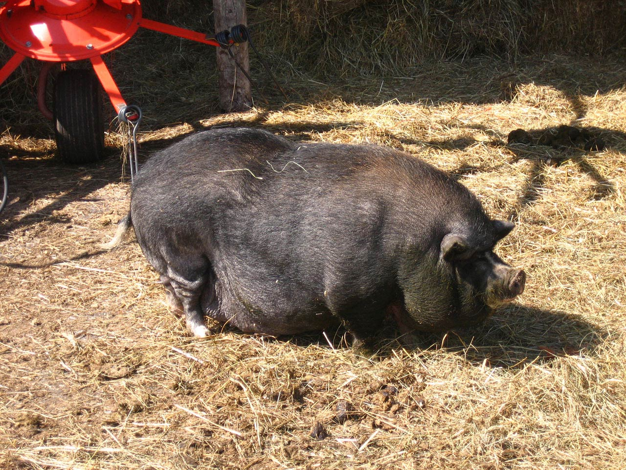 Potbellied Pig Wallpapers  Animals Town 1280x960