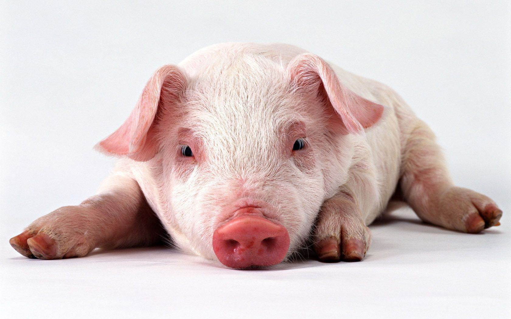 Baby Pigs Wallpapers 1680x1050