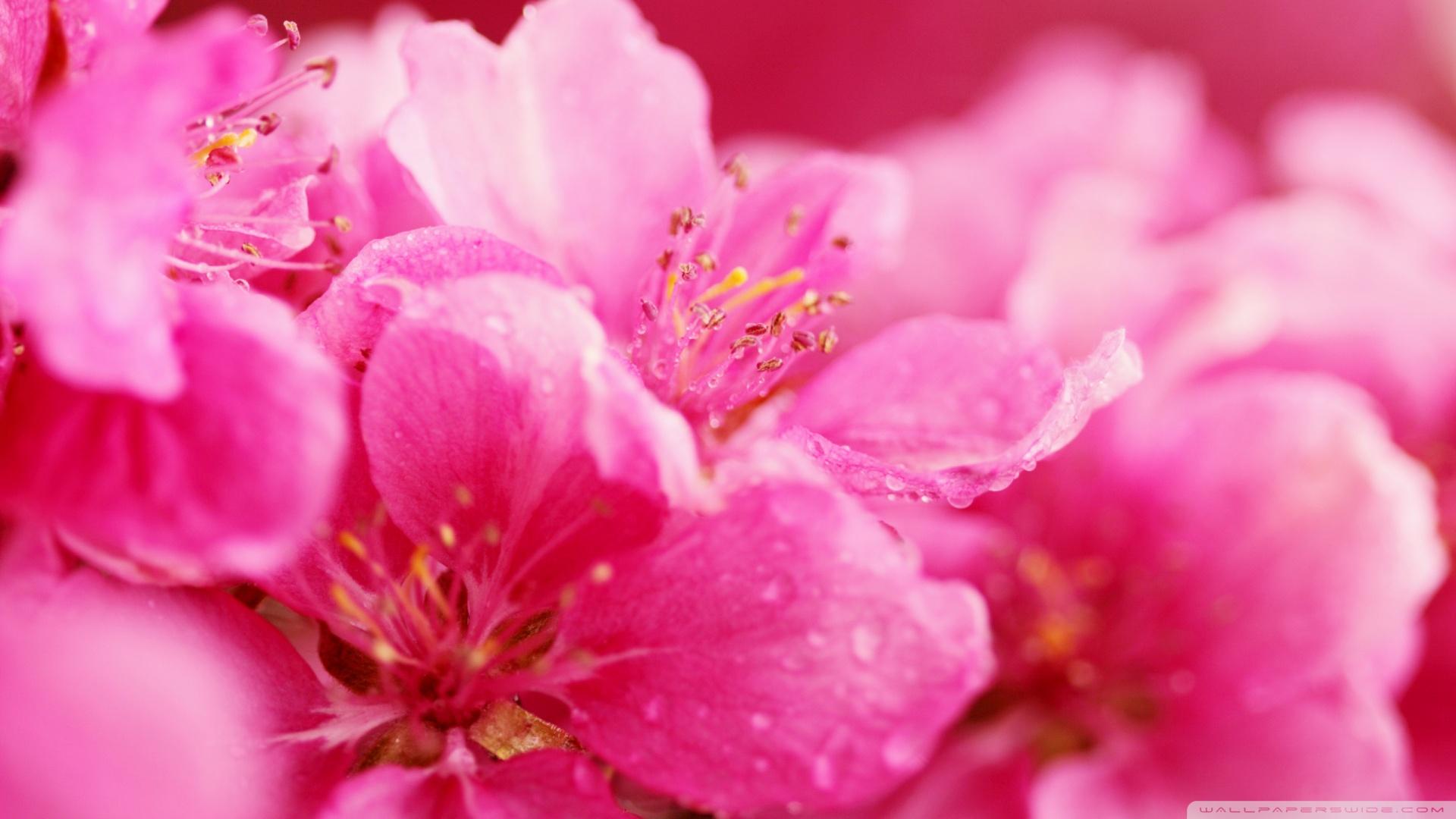 Pink Flower Desktop Wallpapers This Wallpaper 1920x1080