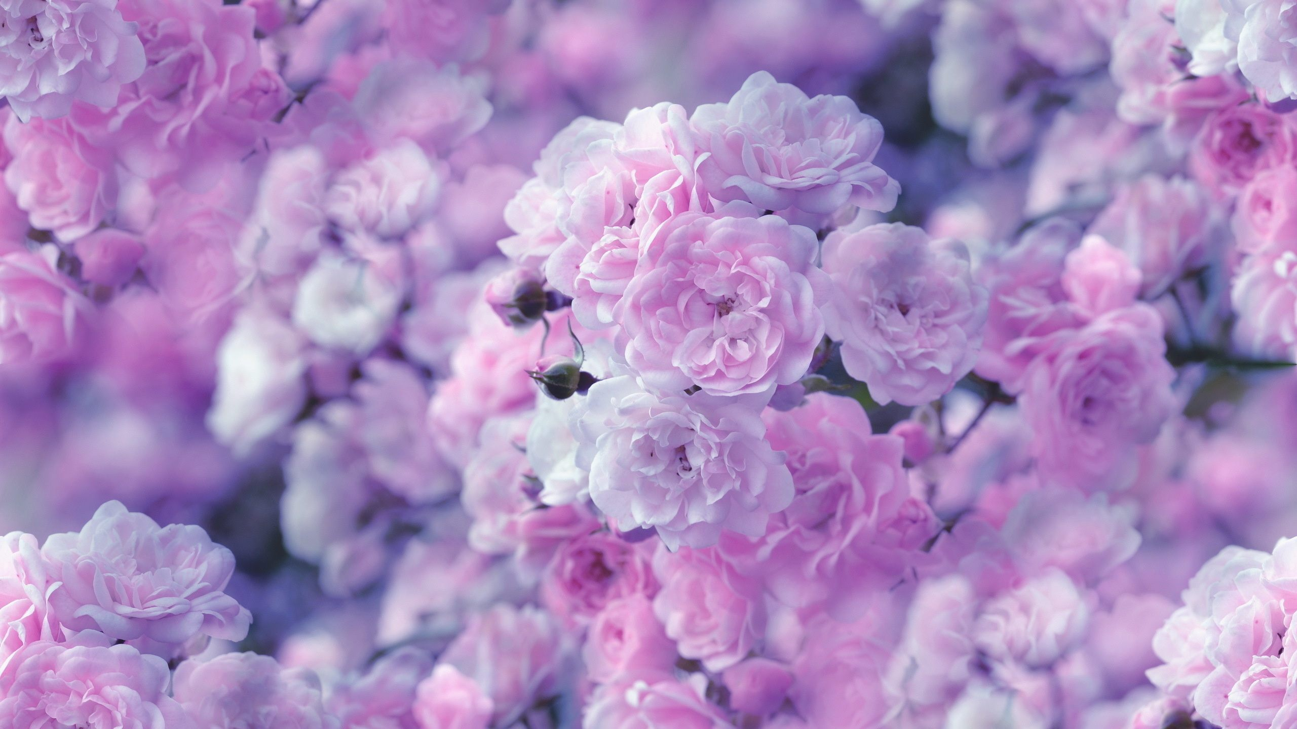 Collection Of Pink Flower Wallpaper On Hdwallpapers 2560x1440