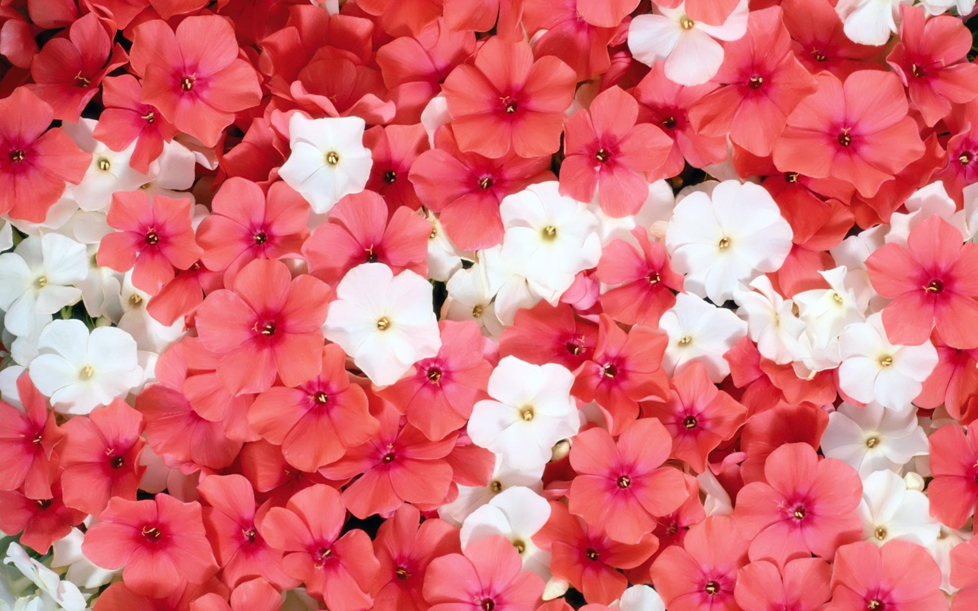 Two pink flowers wallpaper wallpaper free download 1920x1200 mightylinksfo