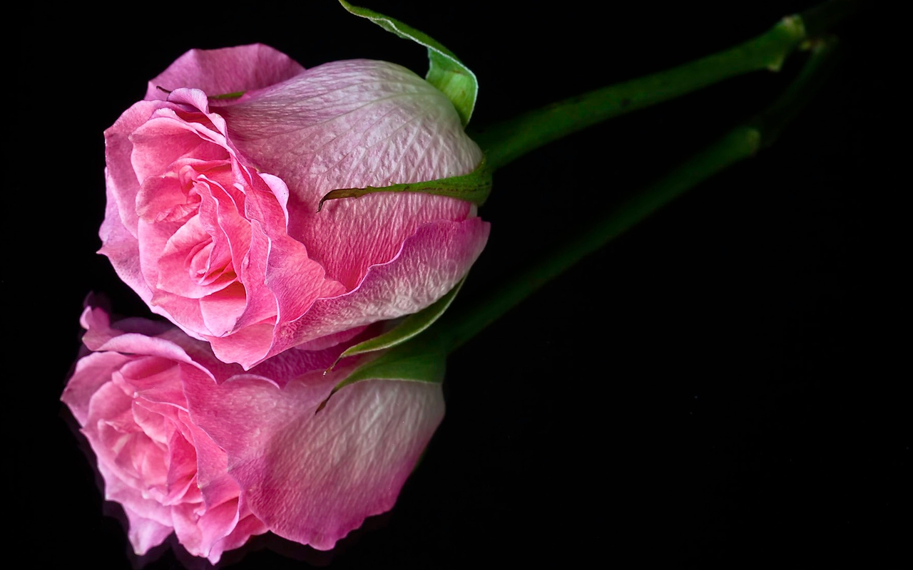 Pink Rose Wallpapers HD Pictures Flowers One Wallpaper 1280x800