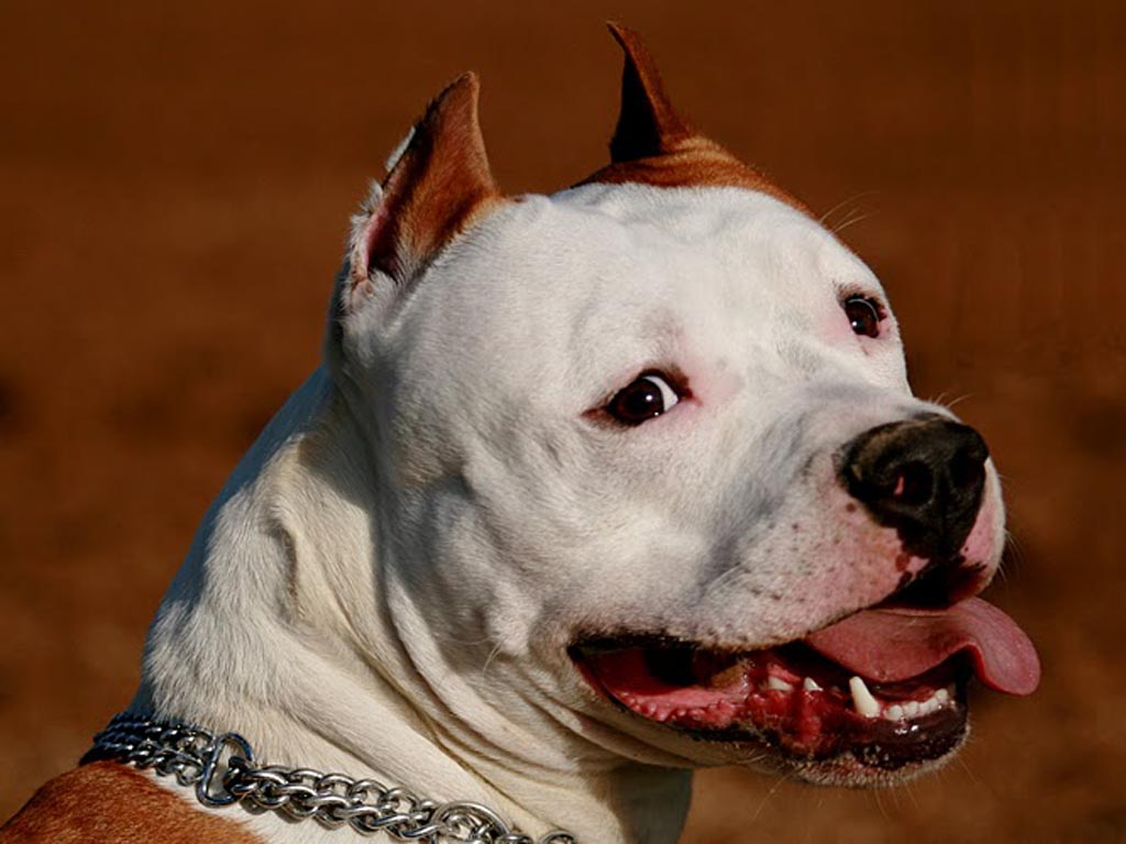 PitBulls Wallpapers  Android Apps on Google Play 1024x768