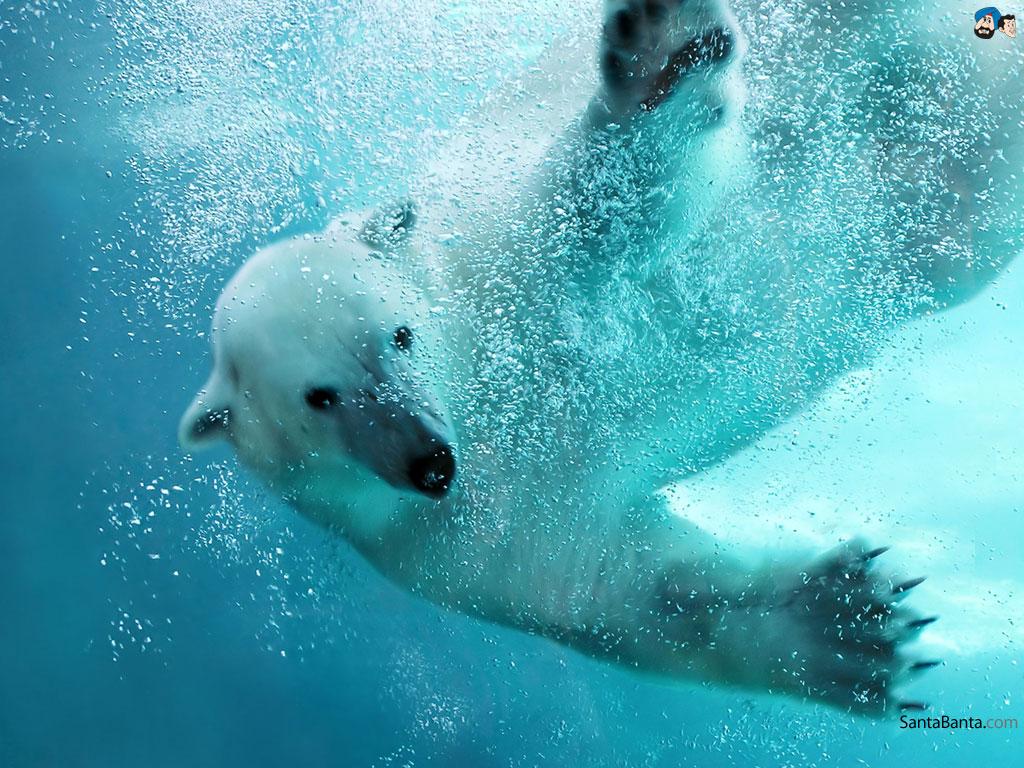 Polar Bear Iphone Wallpaper 1024x768
