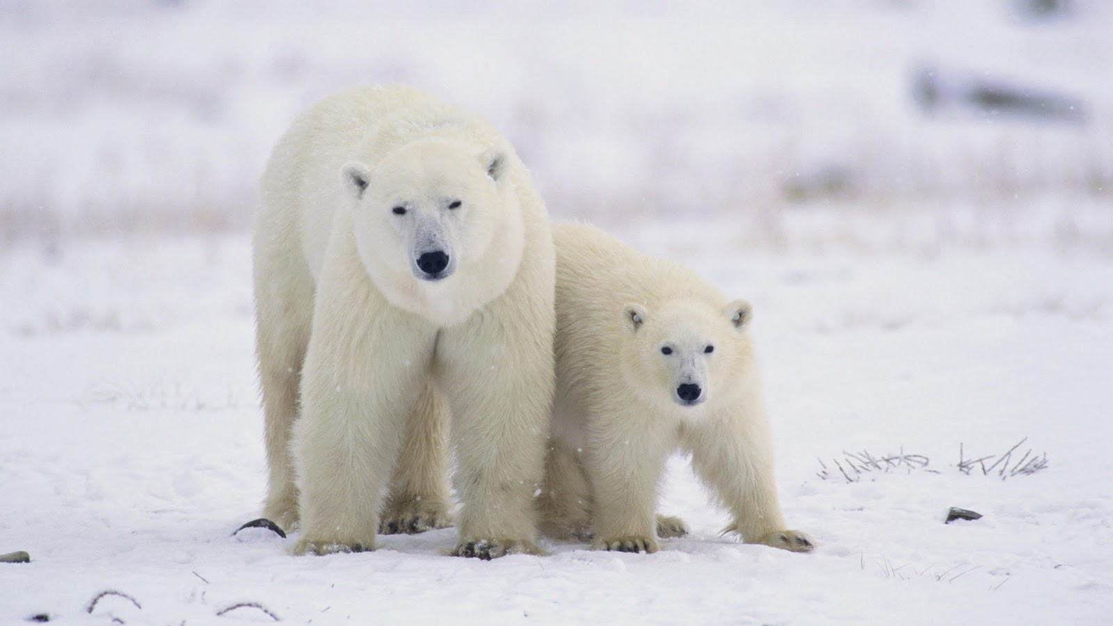 Polar Bear Desktop Wallpaper  Free wallpaper download 1600x900