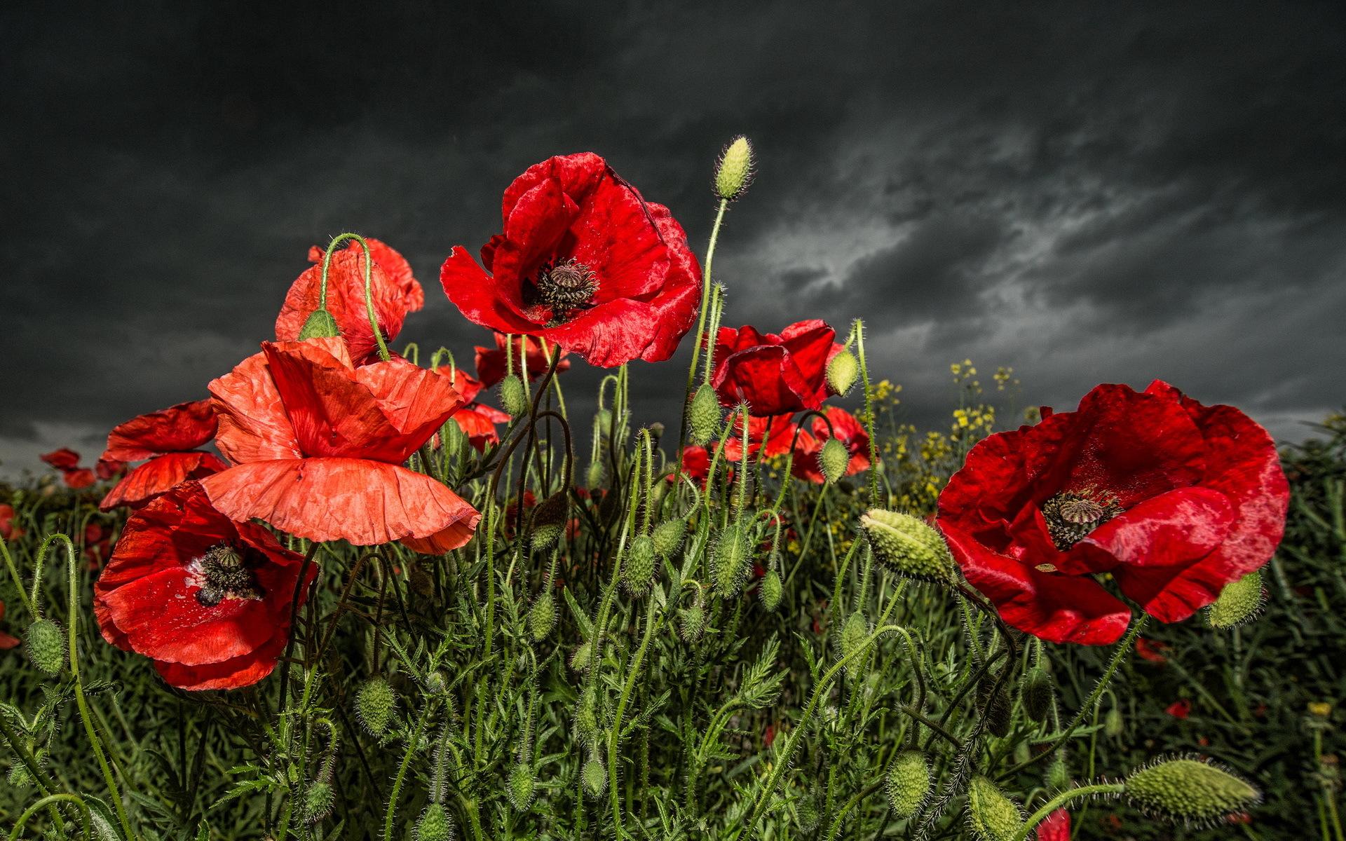 Poppy flower wallpaper wallpaper free download 1920x1200 mightylinksfo