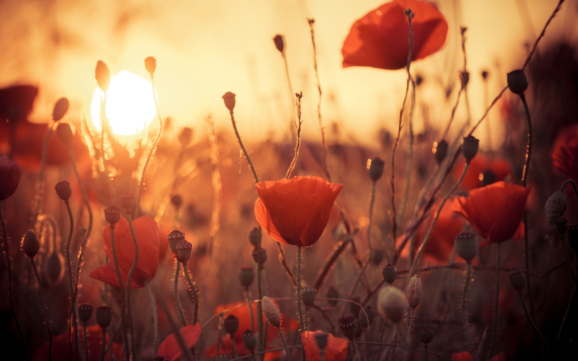 One Red Poppy wallpaper  wallpaper free download 1920x1200