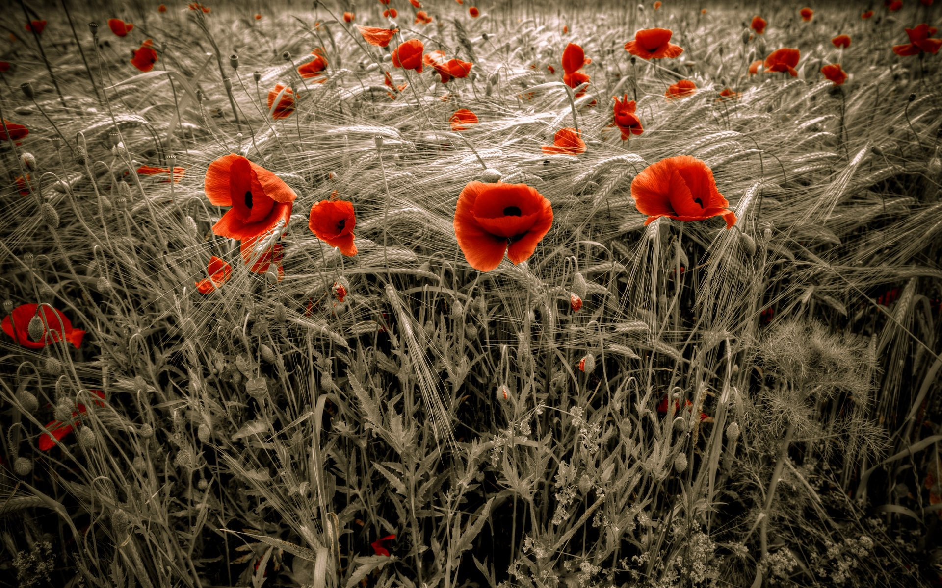 Beautiful Red Poppy wallpaper  wallpaper free download 1920x1200