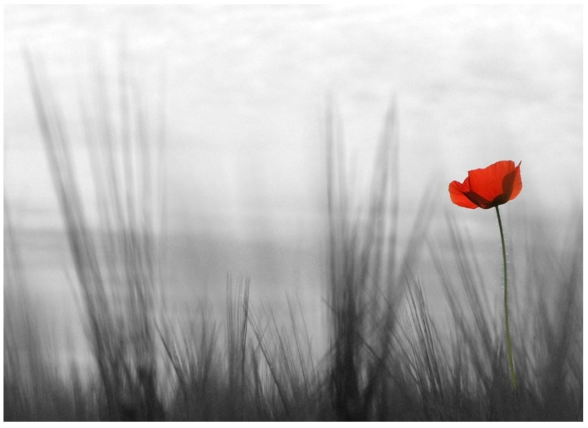 Poppy Flower Wallpaper   845x615