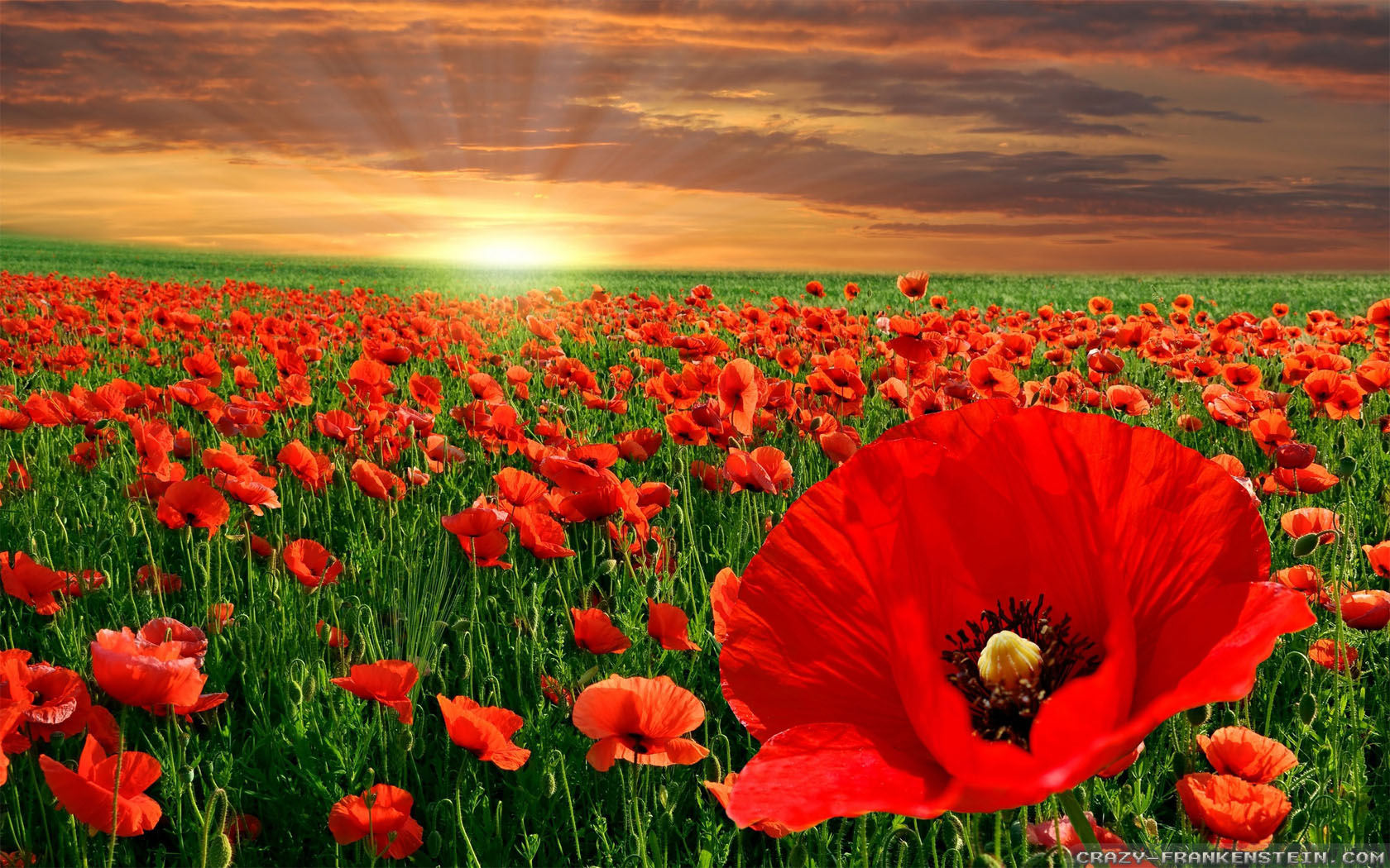 Poppies live wallpaper Apps on Google