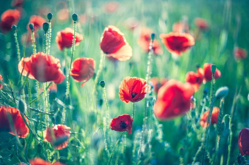 Red Poppy Wallpaper   800x532