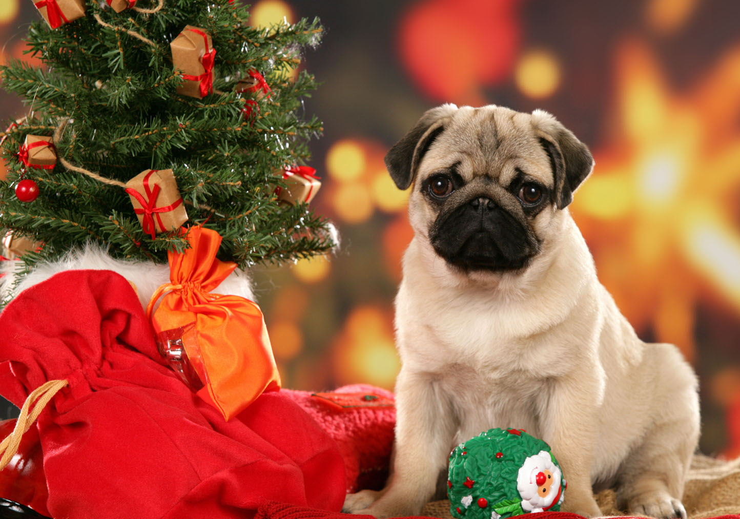 Pug HD Wallpapers  Backgrounds  Wallpaper  1444x1013