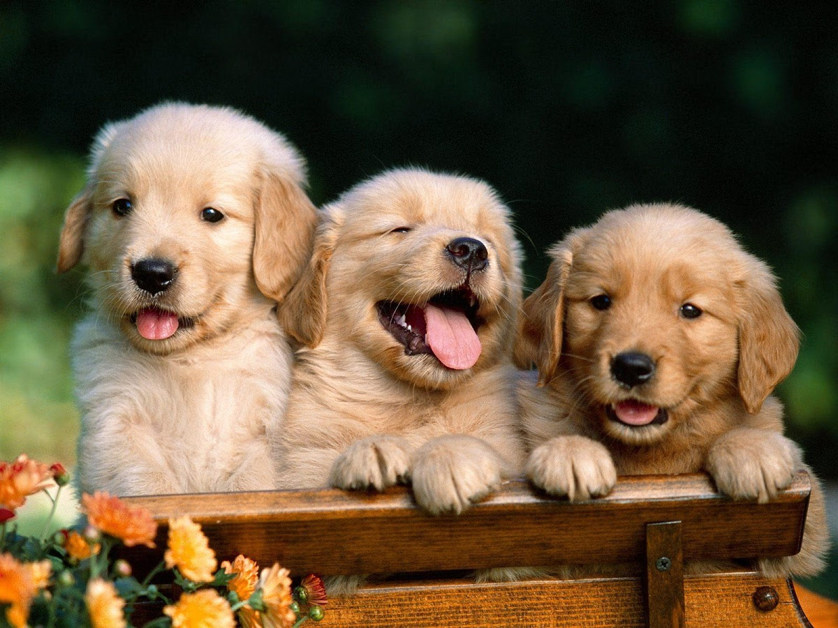 Cute Puppies Wallpaper Android  Android