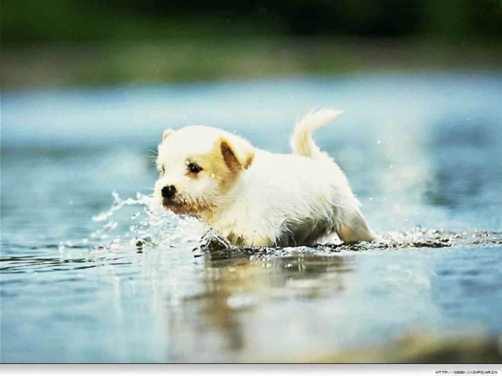 Golden Retriever Puppy Wallpapers Hd Wallpapers 1024x768