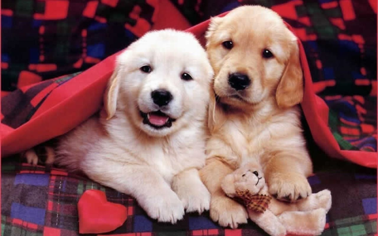 Puppies Wallpapers Screensaver On Free Pictures Of High Resolution 1280x800