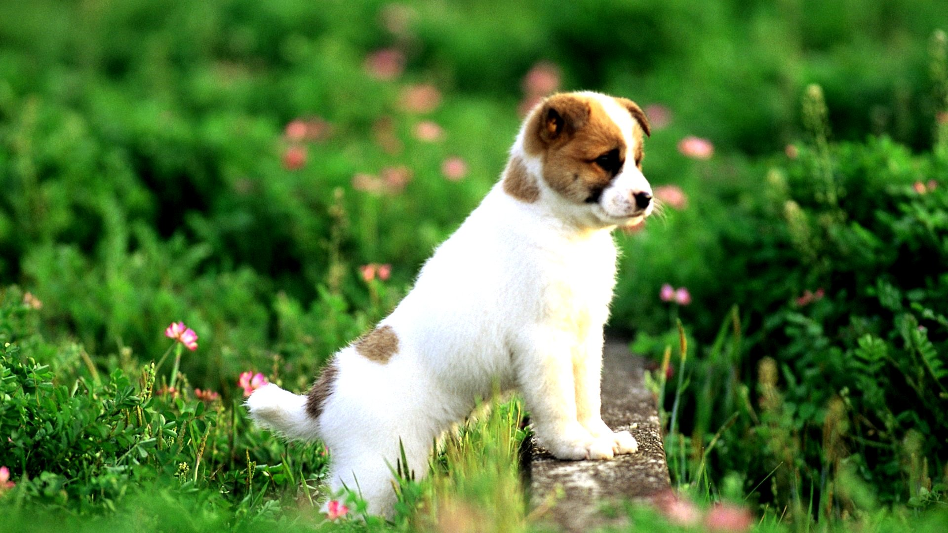 Puppy Images Free DownloadDog WallpaperCute Animal Wallpapers 1920x1080