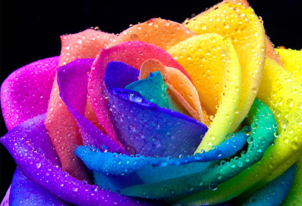 Rainbow Roses HD Flowers Wallpapers for Mobile and