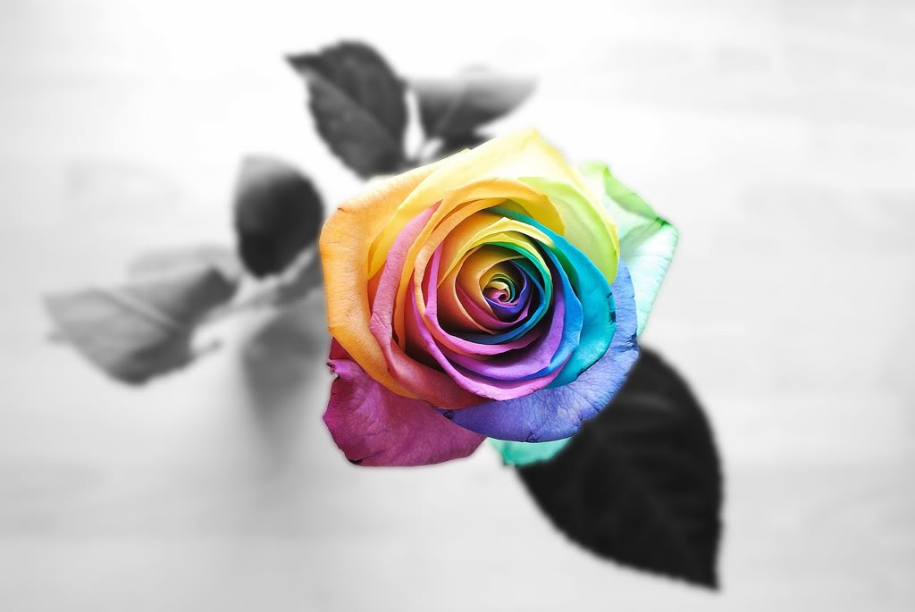 Beautiful Roses Wallpaper For Mobile Big Nice Rainbow Rose I Am