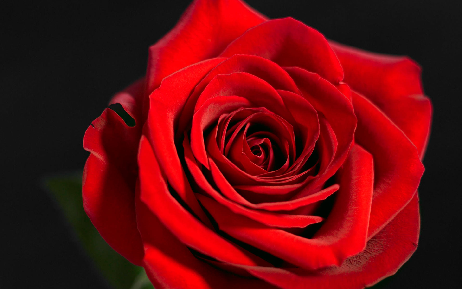 Red Rose Wallpapers Free Download Group 1920x1200