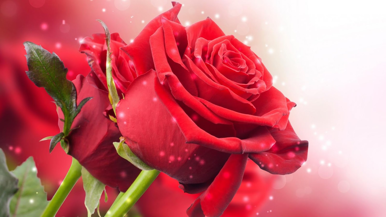 Red Rose Wallpapers Free Download Group  1600x900