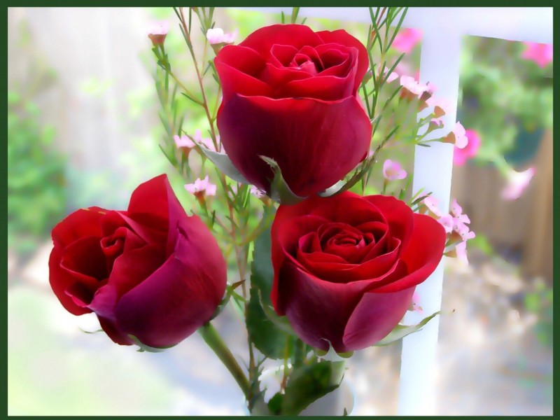 Red Rose Wallpapers Red Flowers Hd Pictures One Hd Wallpaper 800x600