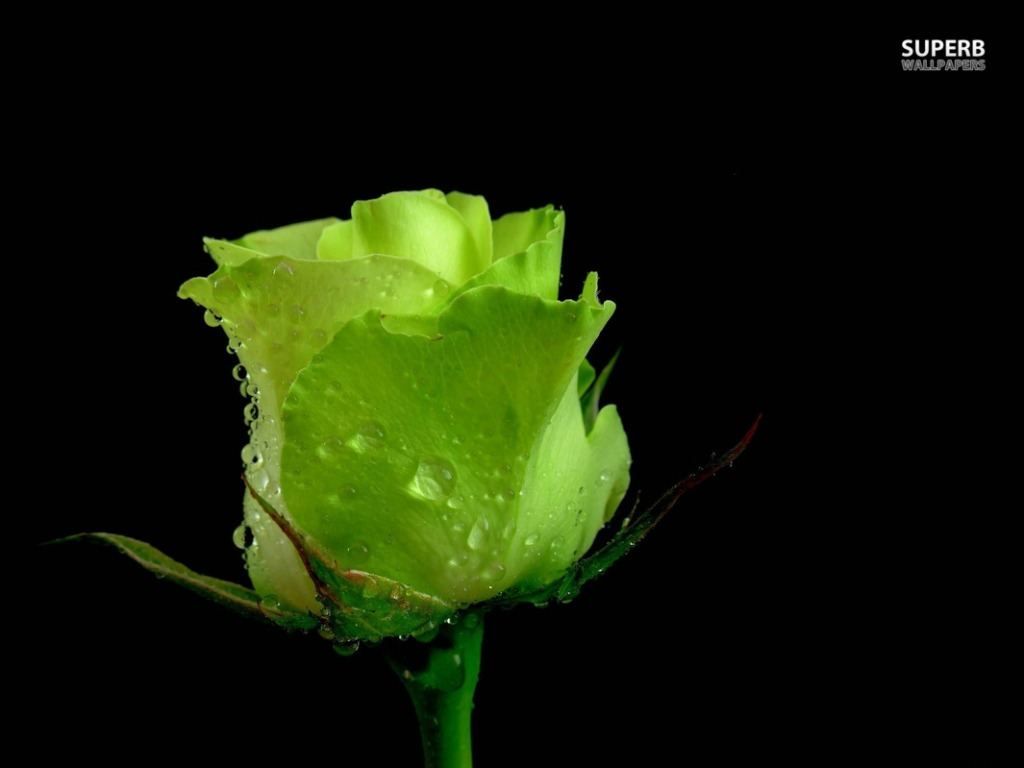 Rose Hd Wallpapers Backgrounds Wallpaper 1024x768