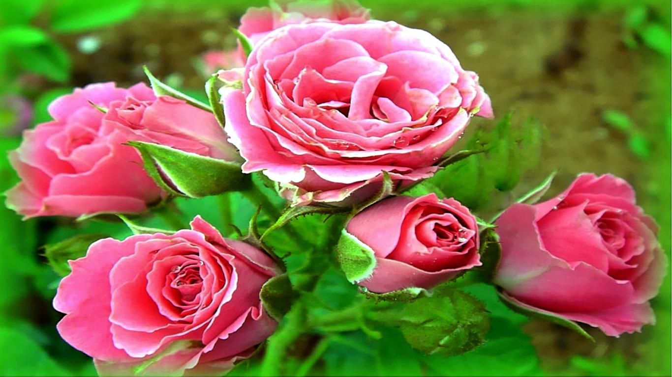 Love Roses wallpapers , Rose Flower images, Rose Pictures and 1366x768