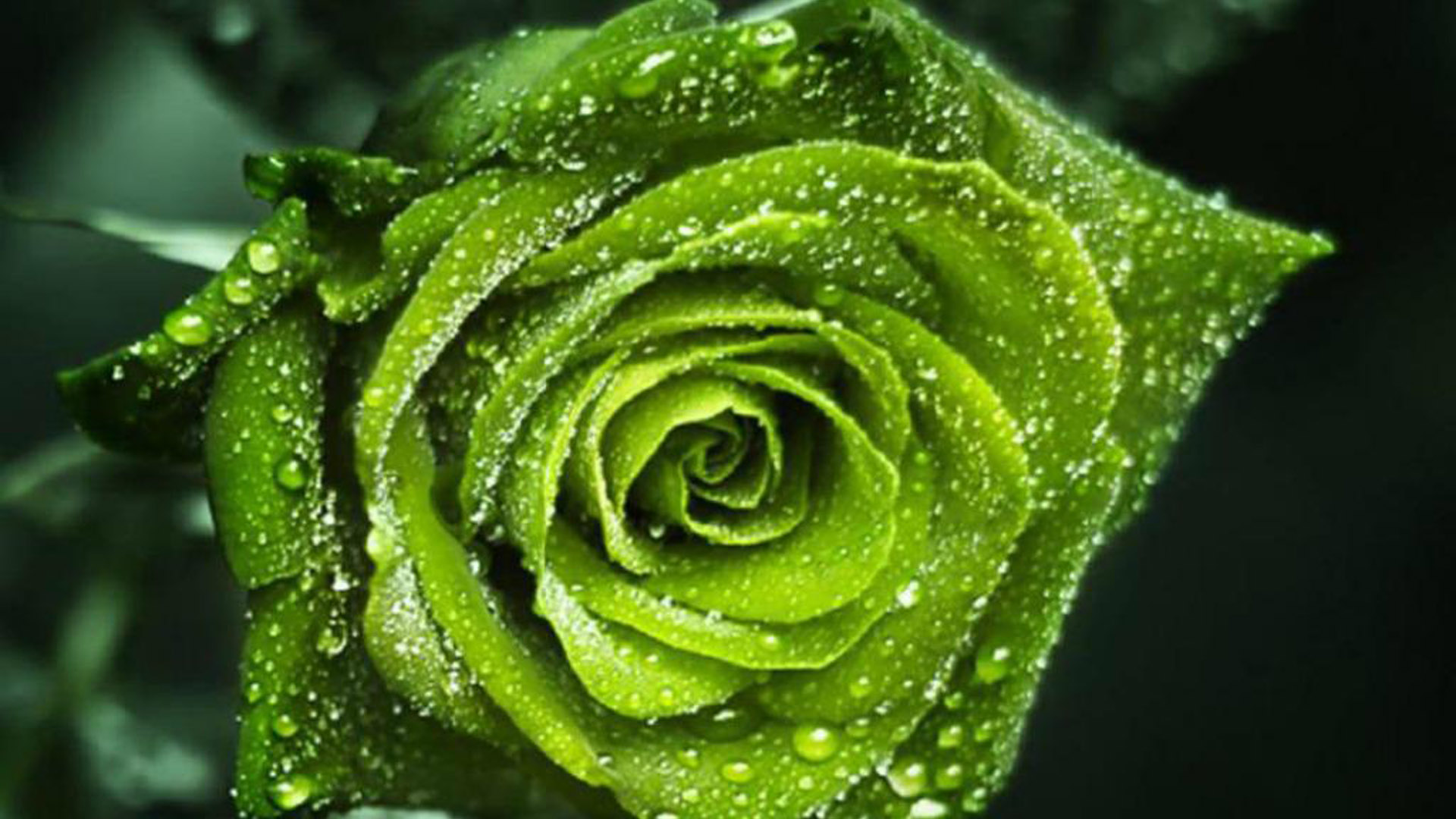 Wallpaper rose flowers wallpapers for free download about (, 1920x1080