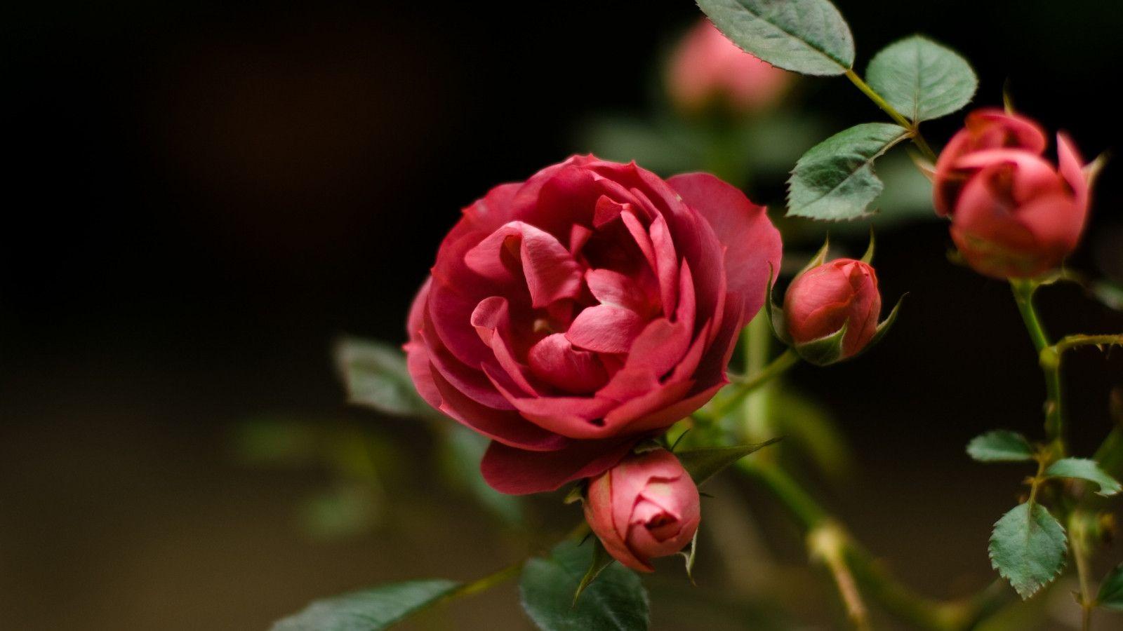 Attractive Orange Roses Wallpapers Hd Morewallpapers Green Rose