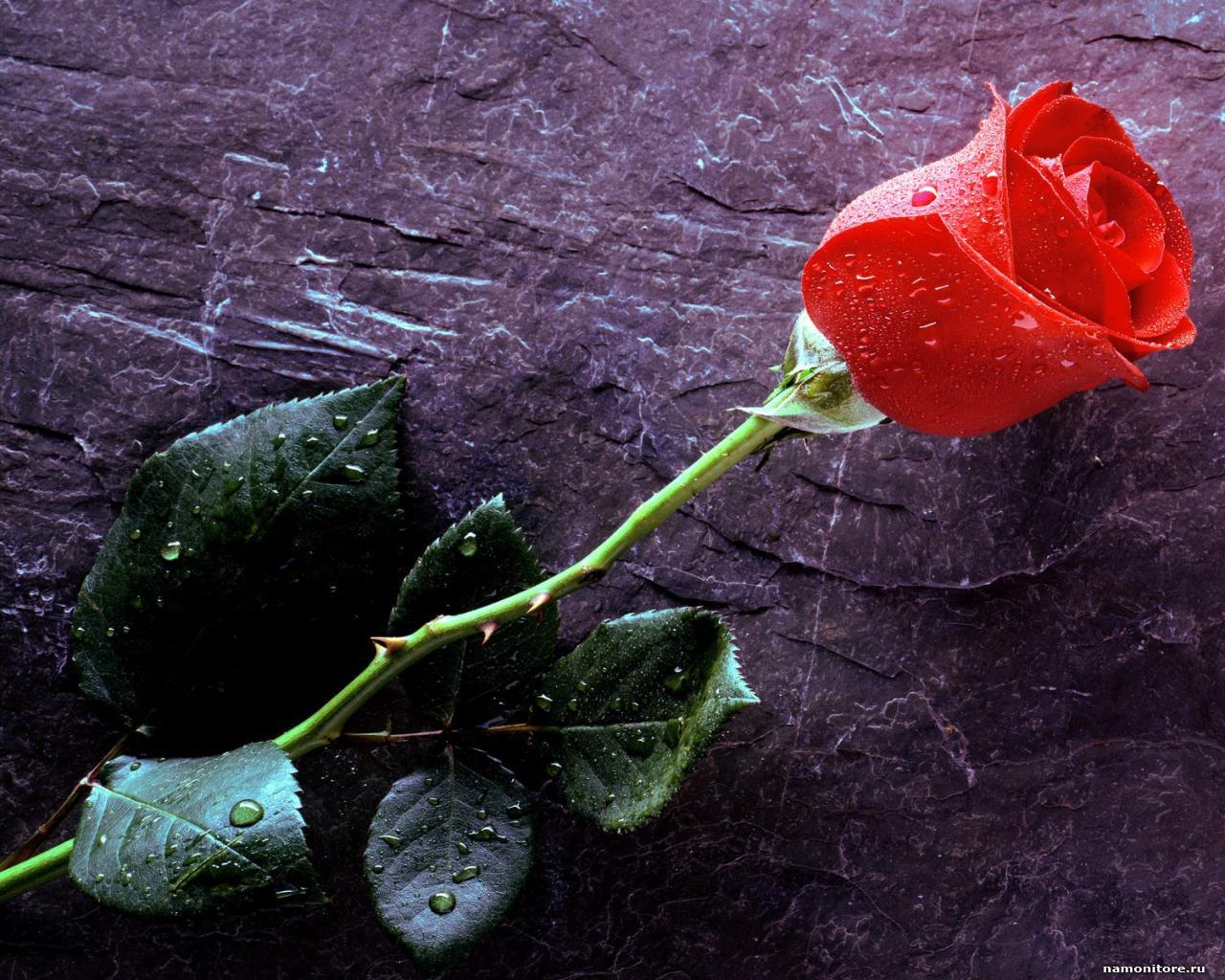 water drops roses astonishing wallpapers hd morewallpapers rose