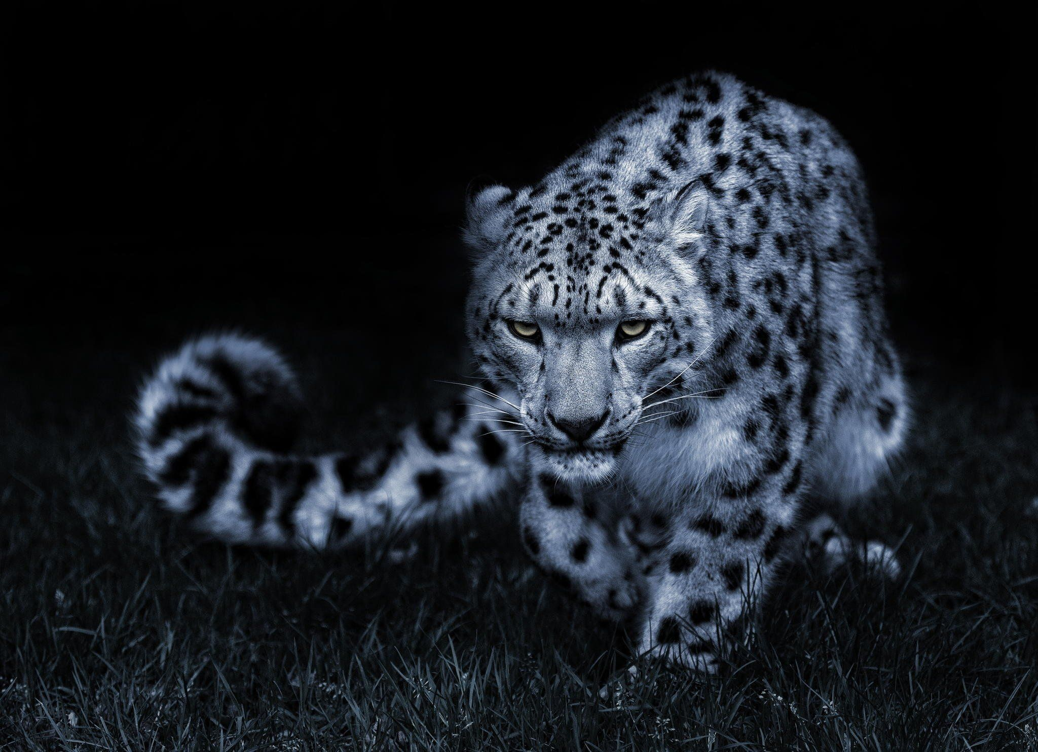 snow leopard wallpaper 2048x1484