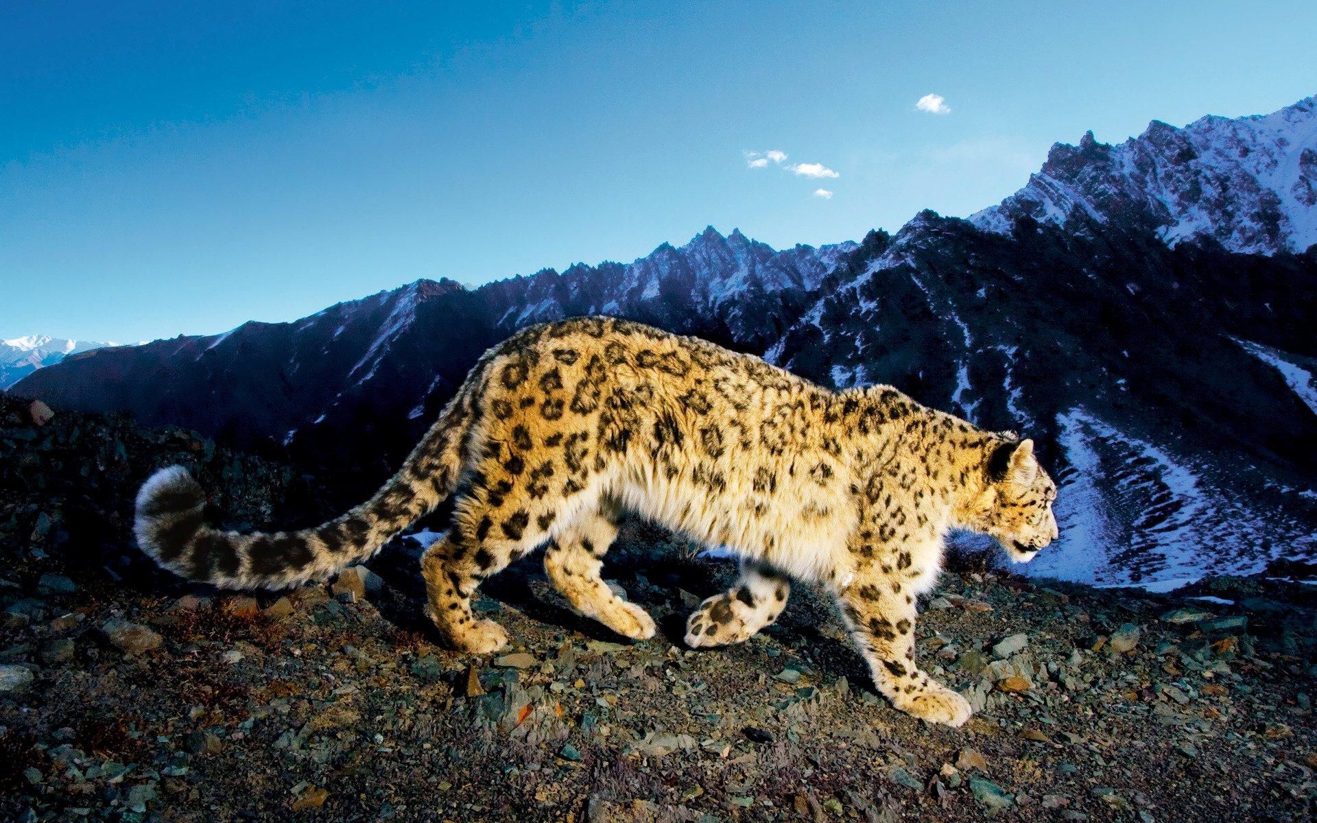 Amazing Wallpaper Mac Snow Leopard - Snow-Leopard-Wallpaper-006  Gallery_28180.jpg