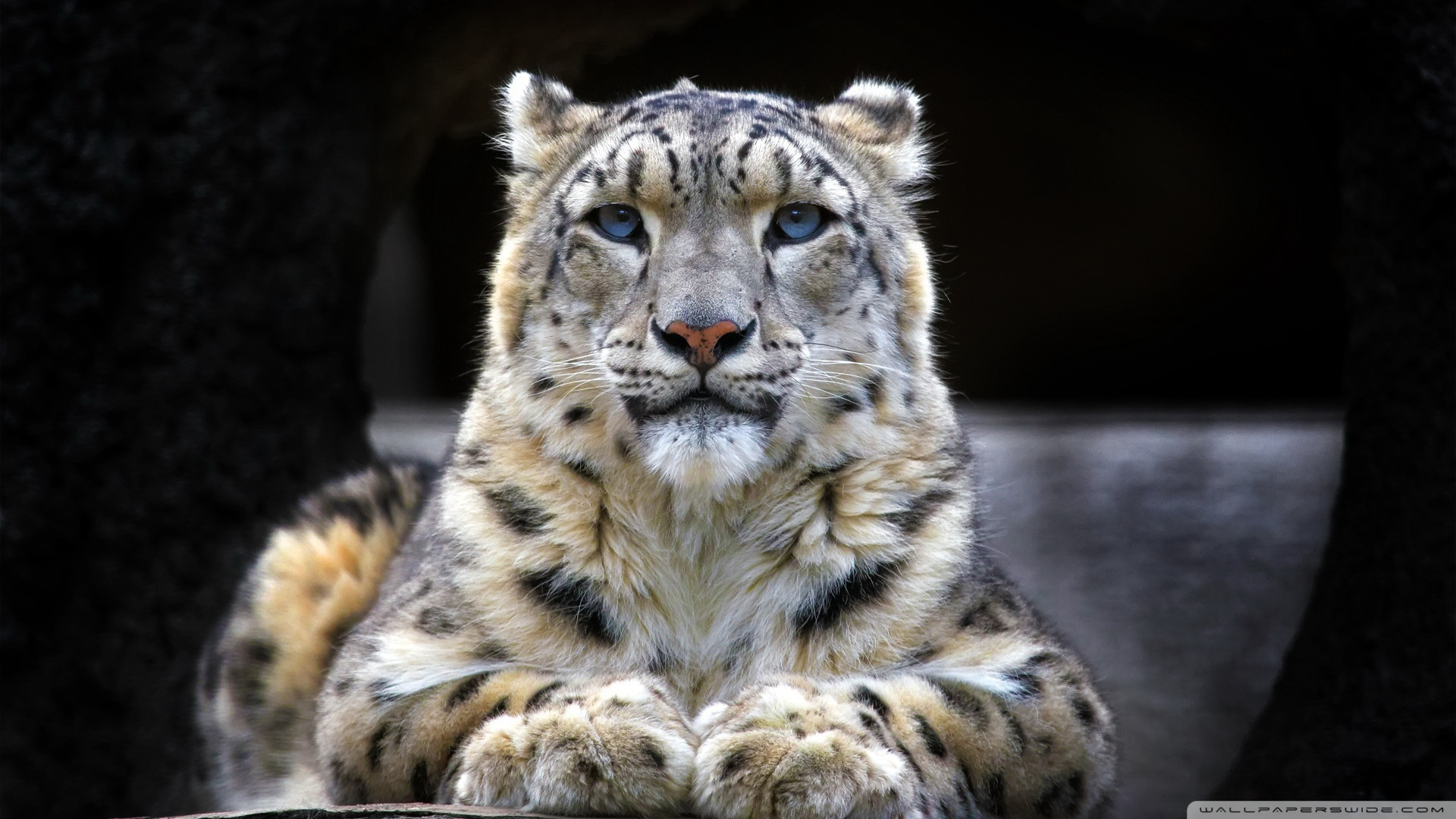 Snow Leopard Wallpapers Page  1920x1080